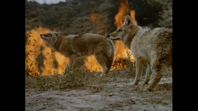 File:Two coyotes.png
