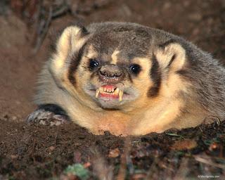 File:Funny Badger 1.jpg