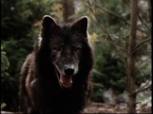 Wolf- benji the hunted