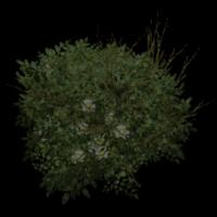 Ob bush01.jpg