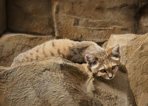 File:Sand-cat.jpg