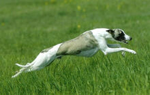 Whippet-Image-7A