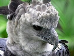 Bf27d harpy-eagle-photos-02