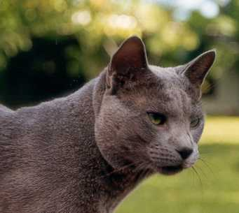File:Russian blue cat01.jpg