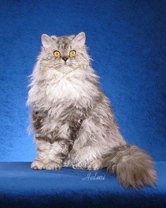File:Selkirk Rex cat.jpg