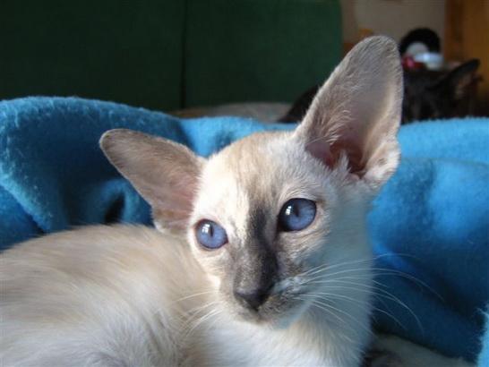 File:Blue Tortie Siamese.jpg