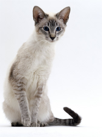File:Tabby Point Siamese.jpg