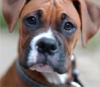File:Boxer fanner1.jpg