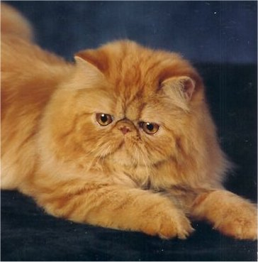 File:Persian cat.jpg