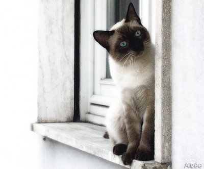 File:Traditional Siamese.jpg
