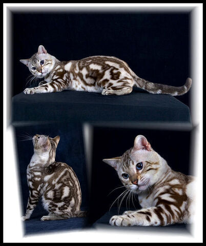 File:Snow bengal cat.jpg