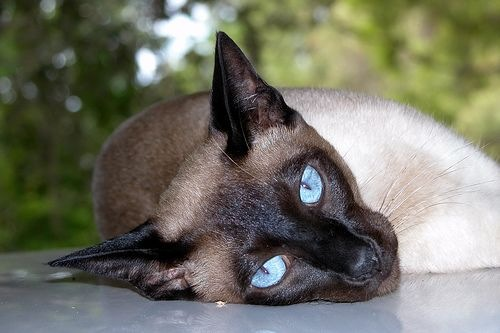File:Siamese cat lying.jpg