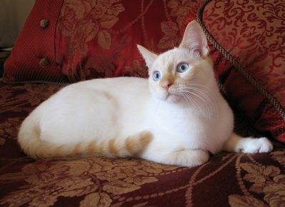 File:Flame Point Siamese.jpg