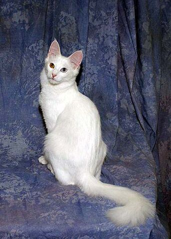 File:Odd-Eye Turkish Angora.jpg