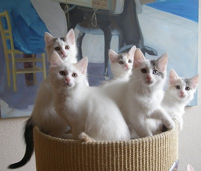 File:Turkish Van kittens 2.jpg
