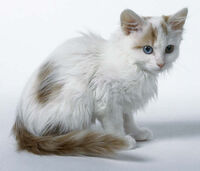 Turkish Van kitten
