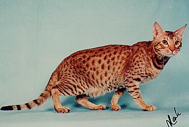 File:Ocicat cat.jpg