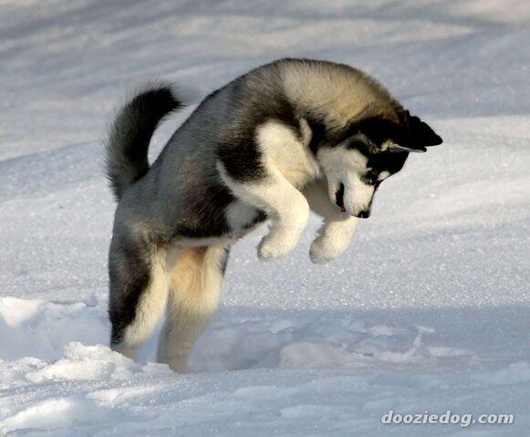 File:Siberian-Husky-1.jpg