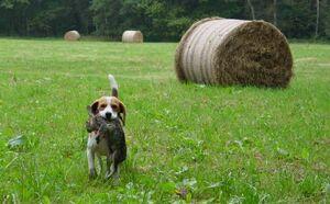 Beagle hunting 2