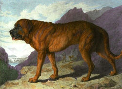 Alpine-mastiff