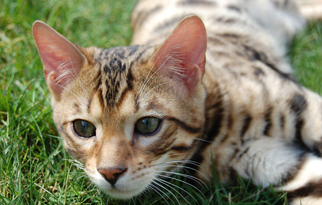 File:Bengal on grass.jpg