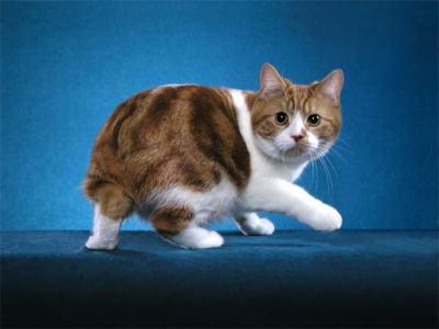File:Manx cat 2.jpg