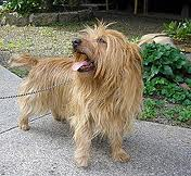 File:Australian terrier.jpg