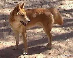 File:Australian dingo.jpg