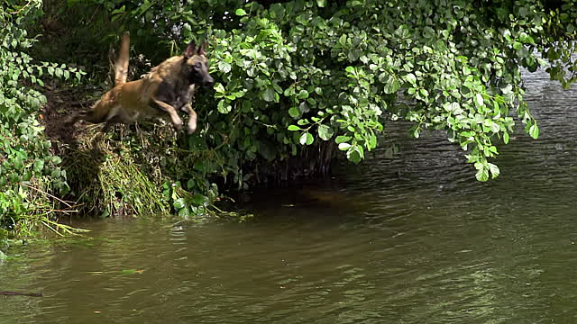 File:Belgian Malinois Jumping into River.jpg