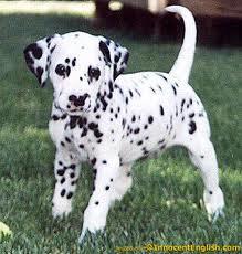 File:Dalmtian puppy.png