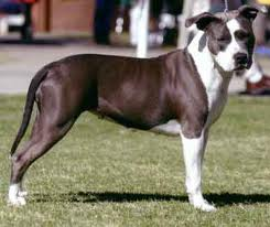 File:American staffordshire terrier.jpg