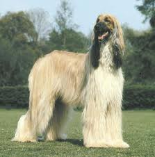 File:Afghan hound.jpg