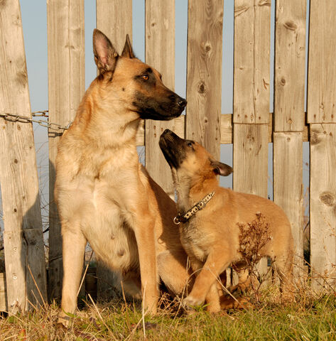 File:Belgian Malinois - Adult and Puppy.jpg
