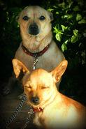 Gozitan Chihuahuas