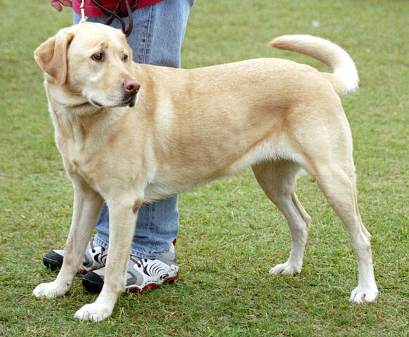File:20091130211535!YellowLabradorLooking.jpg