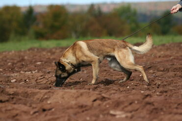 Belgian Malinois Tracking