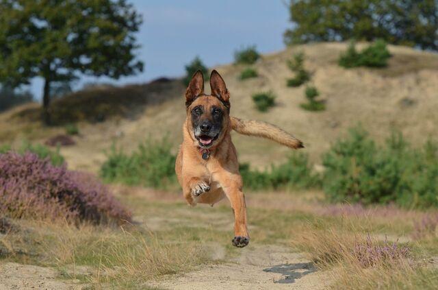 File:Belgian Malinois Jumping.jpg