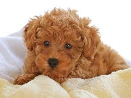 File:Toy poodle.jpg