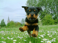 Dogs-dogs-puppy-of-rottweiler-is-flying
