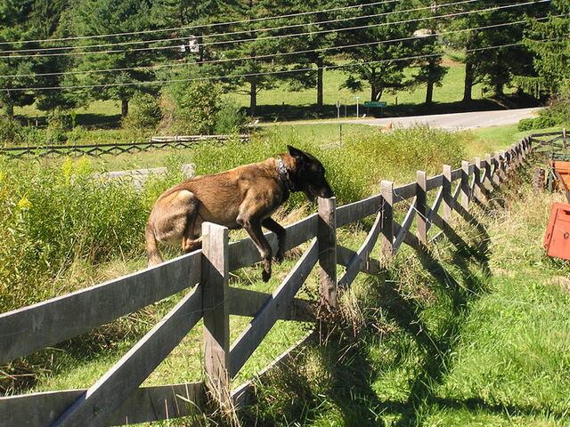 File:Belgian Malinois Jumping Over a Fence.jpg