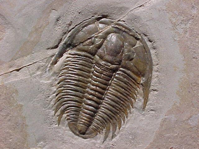 File:Trilobite.jpg