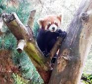 File:Panda tree.jpg