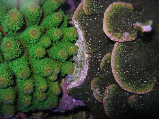 File:Coral warfare.jpg
