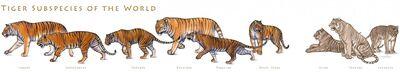 Tiger subspecies by tardiscat-d1388zh-1024x185