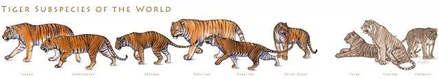 File:Tiger subspecies by tardiscat-d1388zh-1024x185.jpg