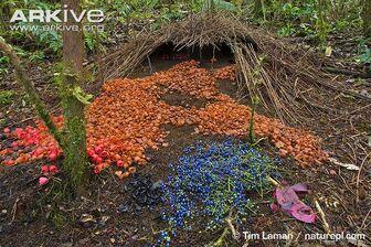 Decorated-bower-of-Vogelkop-bowerbird
