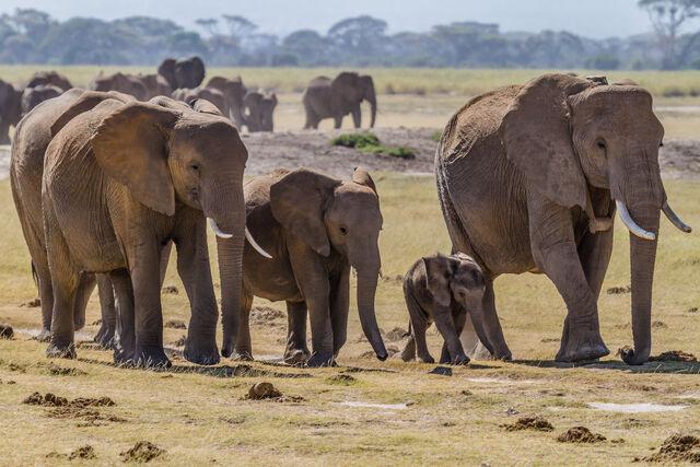 File:Herd of Elephants.jpg
