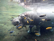 Hippopotamus San Antonio Zoo Photo Credit Zack Neher 2