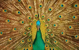 Peacock-dance-hd-images-269x170