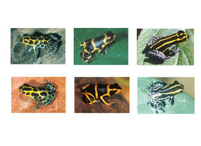 Mullerian frogs